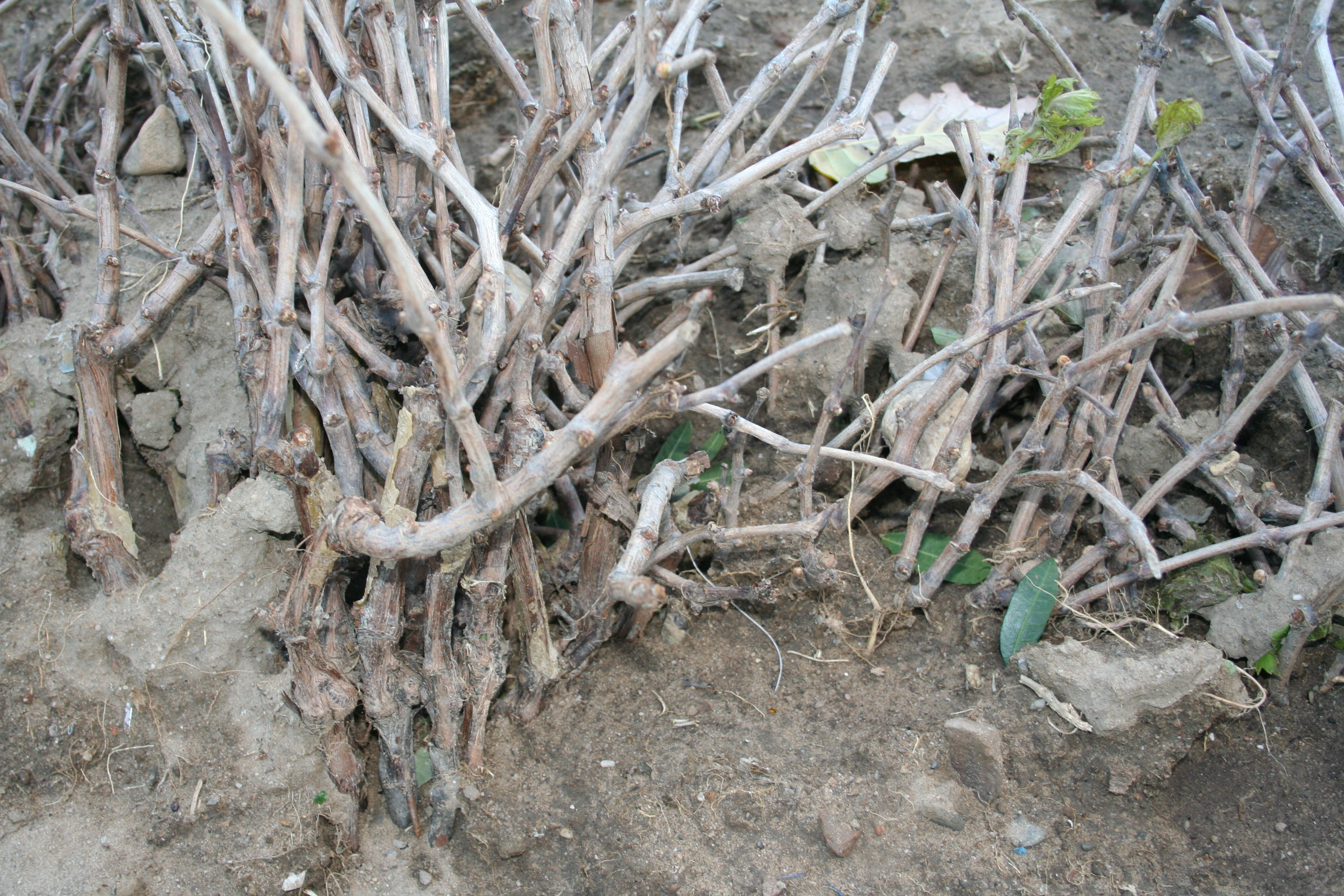 What To Look For When Buying Grape Vines From Your Nursery Free
