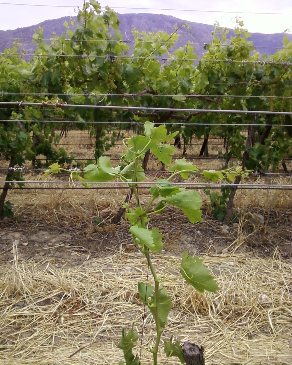 Growing Grapes: The First Year's Goal