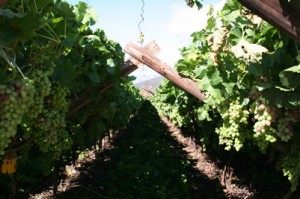 summer pruning grape vines Canopy pruned