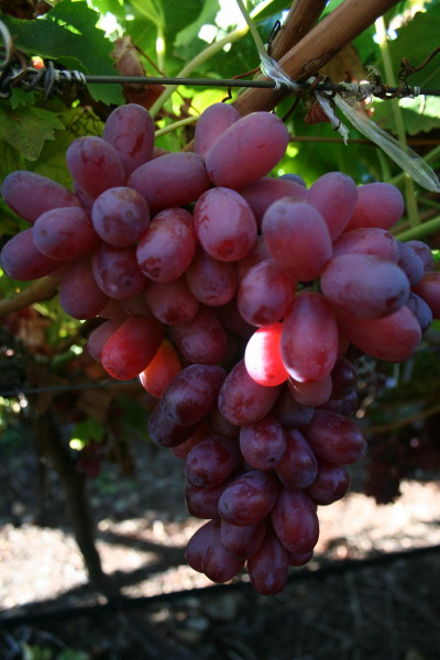 Pruning grapes archives free grape growing tips and help to grow your own grapes - Seedless grape cultivars ...