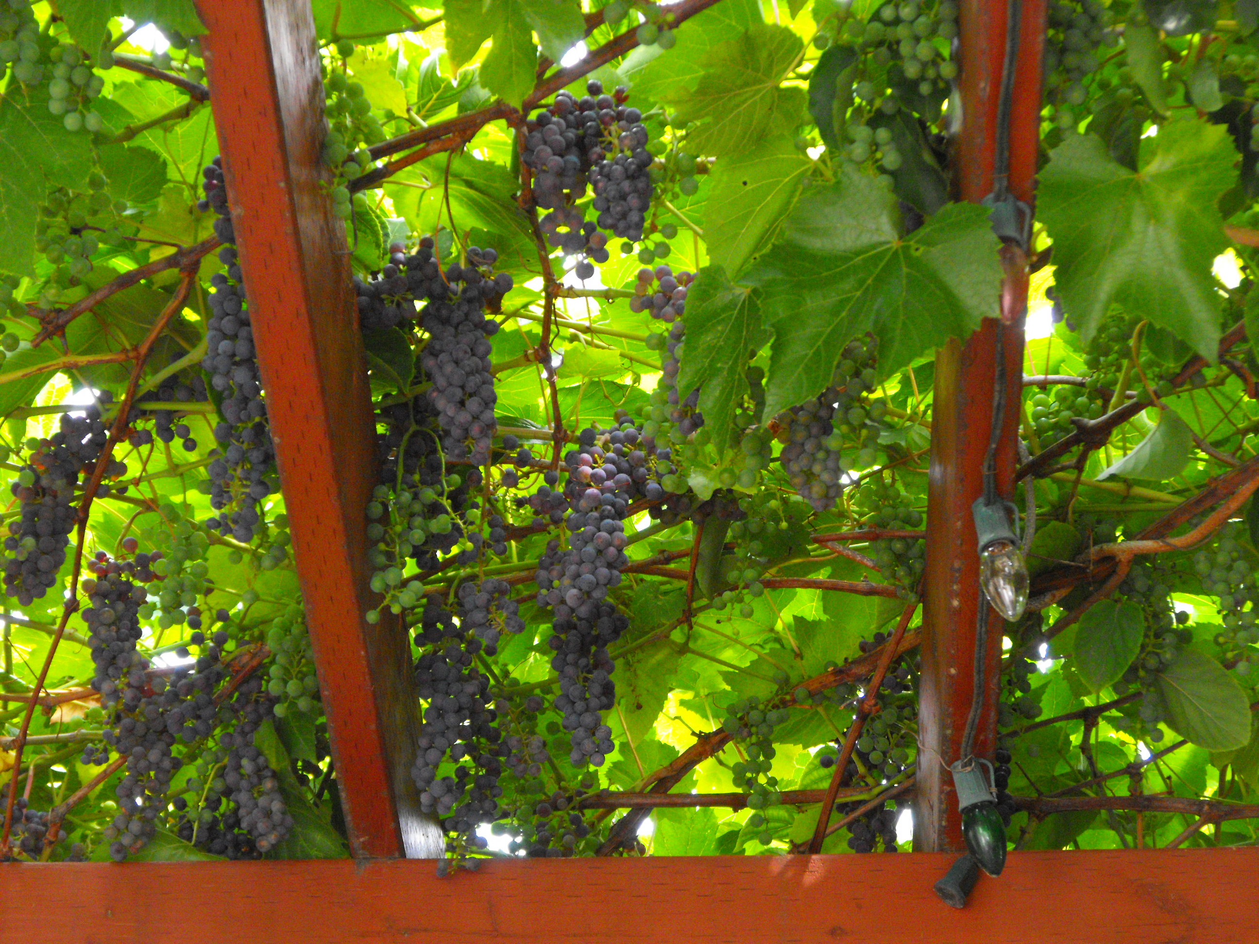 Growing Grapes Archives Free Grape Growing Tips And Help