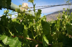 summer pruning grape vines