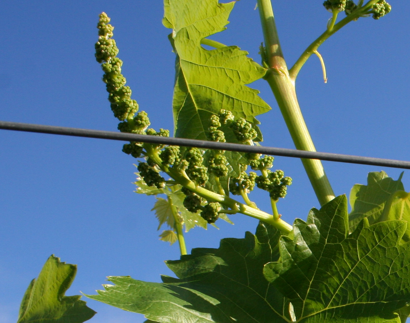 grape vine archives free grape growing tips and help to grow