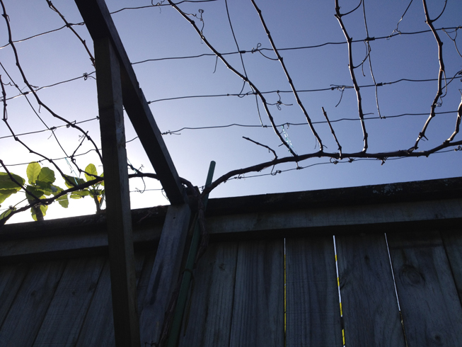 Pruning grapes - How to prune and train the grapevine ...