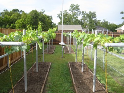 I Need Your Feedback Please Free Grape Growing Tips And