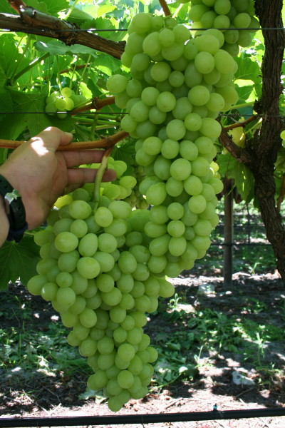 http://www.my-grape-vine.com/images/MyFarm0023.jpg