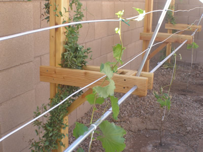 Growing grapes archives page 3 of 12 free grape growing tips and help to grow your own grapes - How to prune and train the grapevine ...