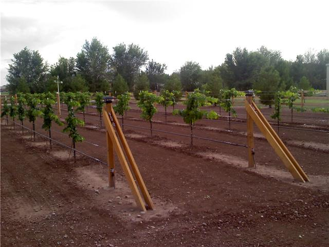 Scotts One Year Old Grape Vine Pictures  Free Grape Growing Tips and