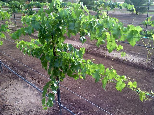 Scott S One Year Old Grape Vine Pictures Free Grape Growing Tips