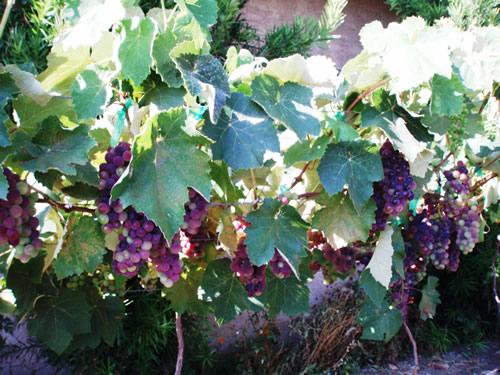 Виноделов Бессарабии ожидает низкий урожай винограда