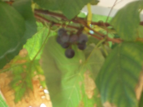 growing grapes in a pot