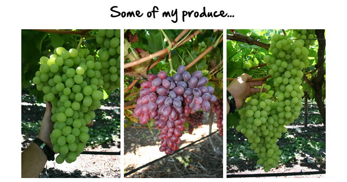 Grow perfect grapes - How to prune and train the grapevine ...