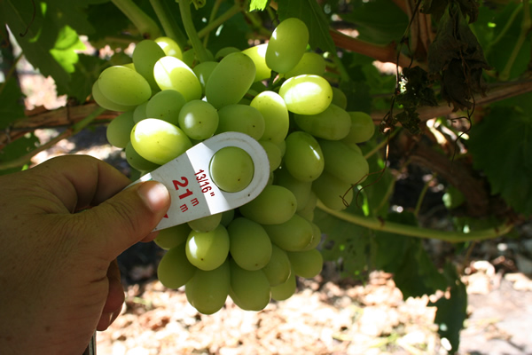 Growing Seedless Grapes Free Grape Growing Tips And Help