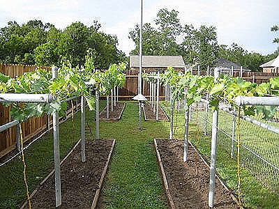 Planting Grapes Archives Free Grape Growing Tips And