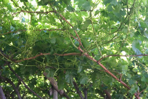 How to grow grapes archives page 2 of 11 free grape growing tips and help to grow your own - How to prune and train the grapevine ...