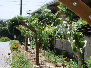 Suzana's grape vines