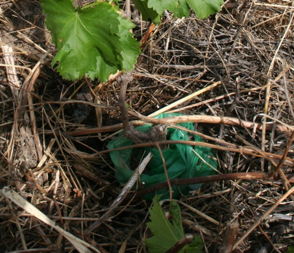 how to look after grape vines