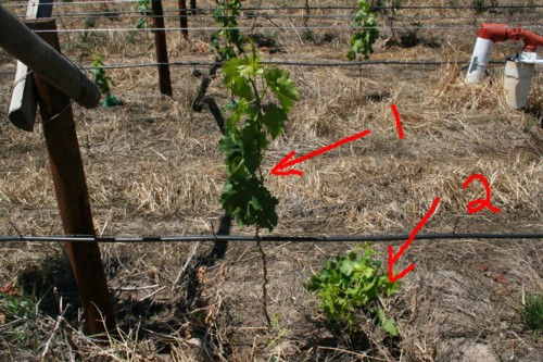 Should i prune back my grape vine free grape growing tips and help to grow your own grapes - How to prune and train the grapevine ...
